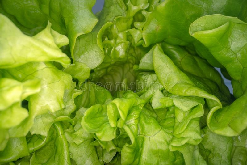 Abstract shapes of green lettuce leafs. Close up view of salad leaf. Urban farming, healthy eating lifestyle.  royalty free stock image