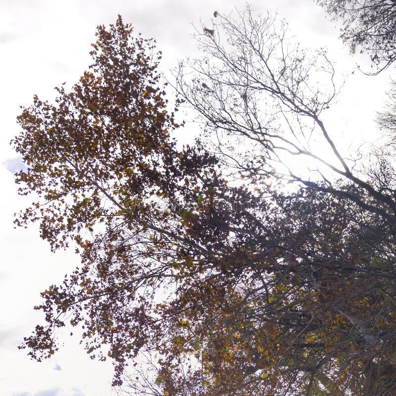 Abstract Silhouet van een Eiken Boom stock foto