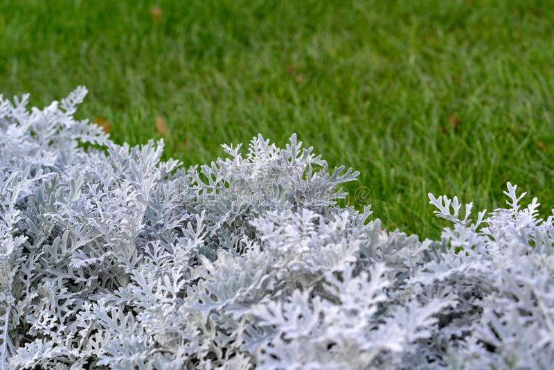 Abstract silvery grass. Abstract silvery flower grass or plant on an indistinct background of a green grass or a lawn royalty free stock photography