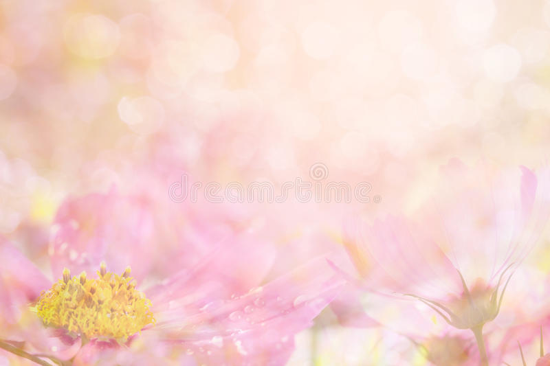 Abstract soft sweet pink flower background from cosmos flowers stock photography