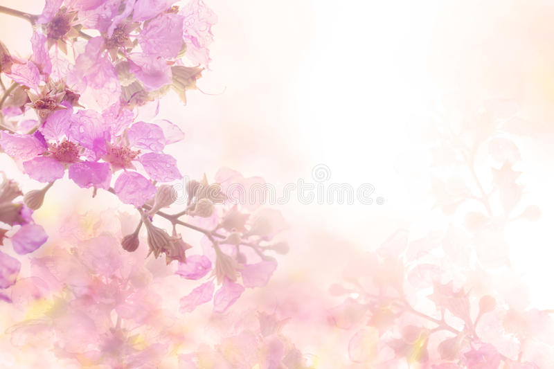 The abstract soft sweet pink flower background from Plumeria frangipani flowers stock photos