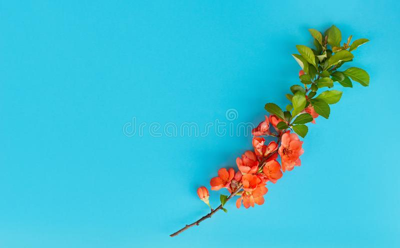 Abstract spring background. Branch of blooming japanese quince on a blue background. Chaenomeles japonica. Copy space royalty free stock images