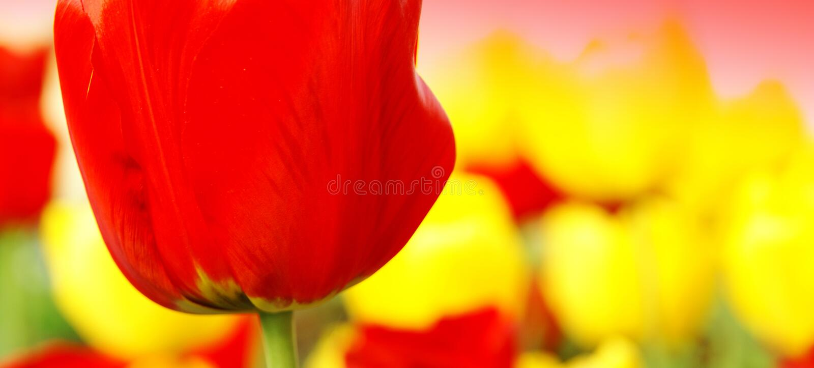 Abstract spring flowers banner royalty free stock photo
