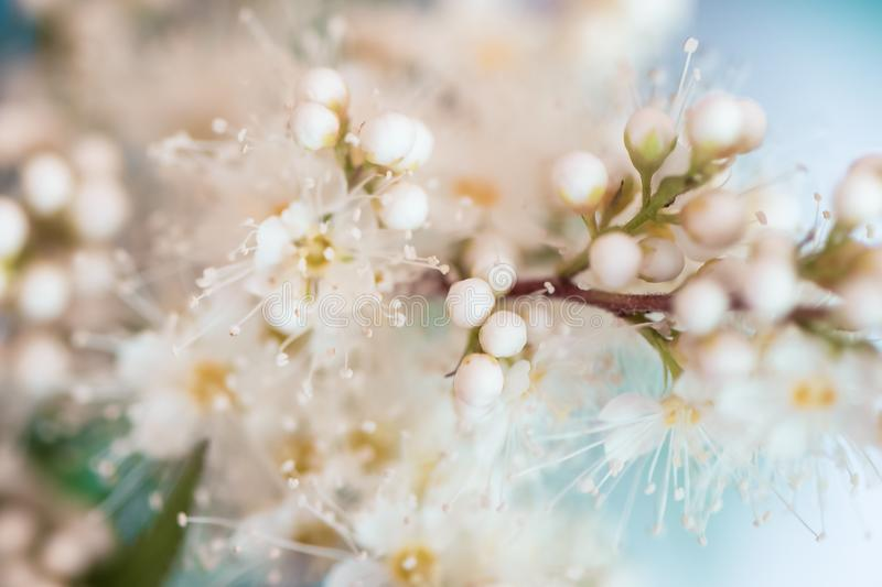 Abstract spring seasonal background with white flowers on blue sky natural easter floral image. pringtime concept stock photography