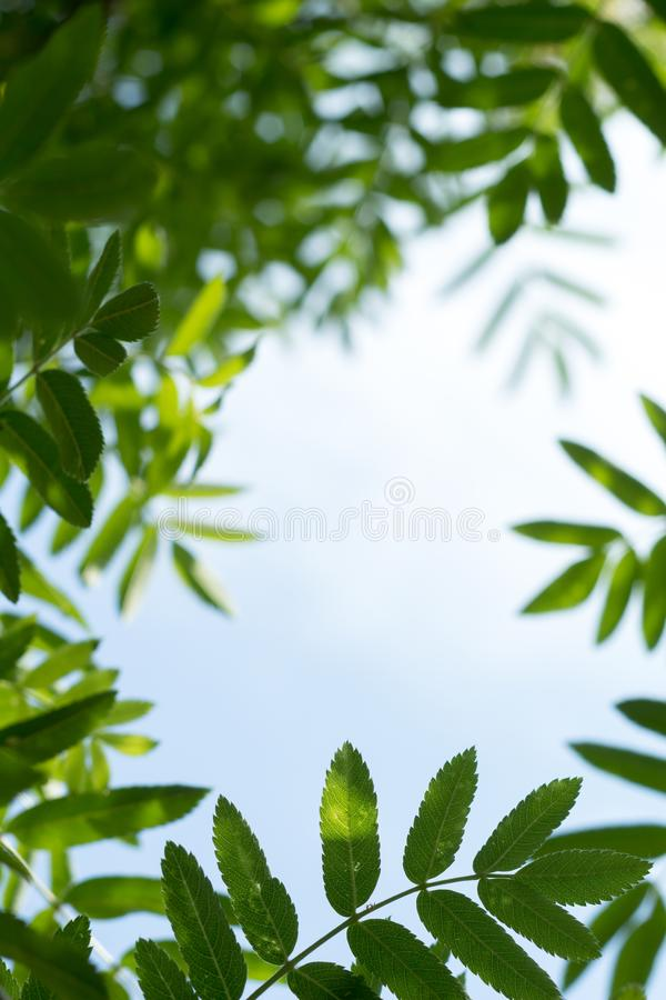 Abstract summer background with rowan tree leaves frame at sunny day and blue sky stock images