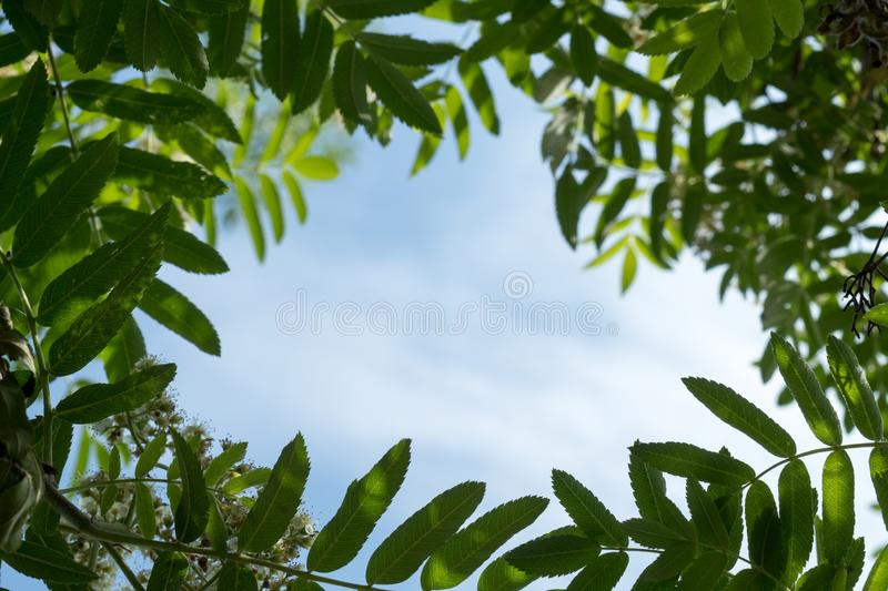 Abstract summer background with rowan tree leaves frame at sunny day and blue sky royalty free stock images