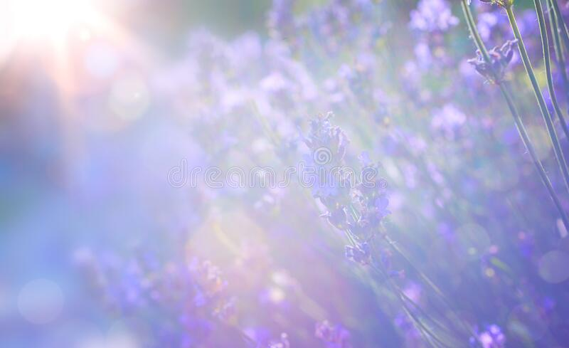 Abstract Summer floral landscape; beautiful summer lavender flower against evening sunny sky; nature landscape Abstract background stock image