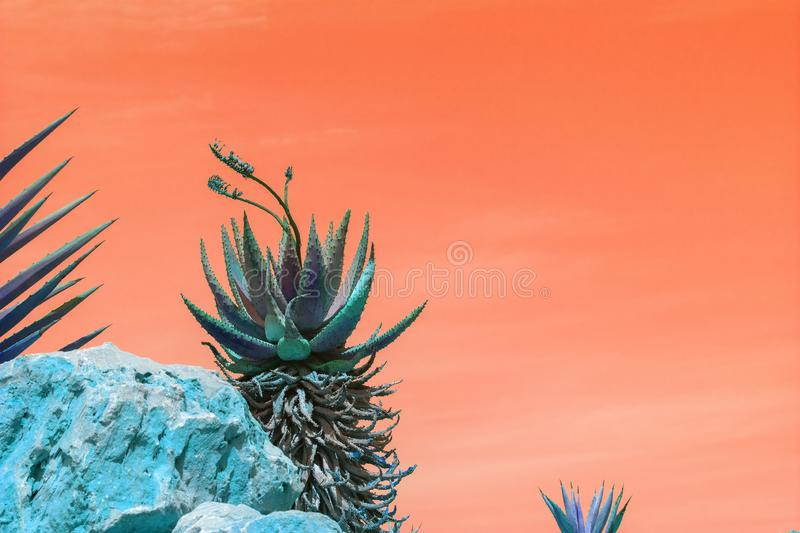 Abstract surrealistic blue and green succulent agave cactus. Plants with flowers against orange color sky stock photography