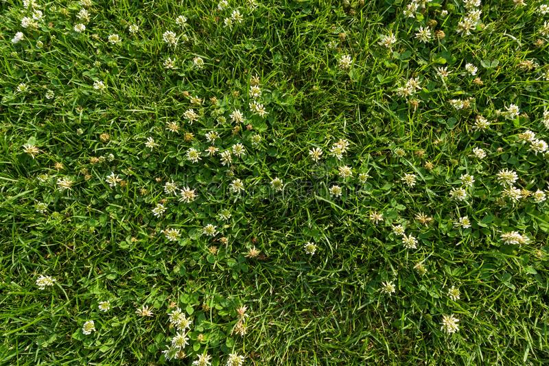 Abstract texture background, natural bright green grass with white flowers of clover, close-up lawn carpet, top view. royalty free stock photo