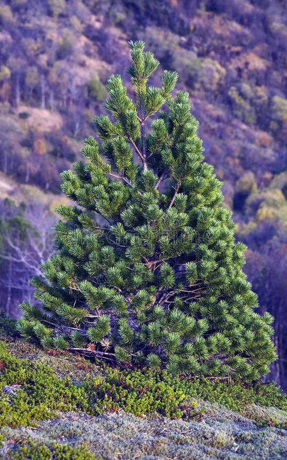 Download Abstract tree on mountain stock image. Image of heather - 36700603