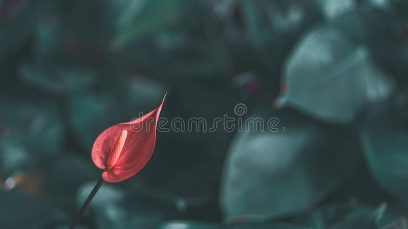 Abstract tropical beautiful flower and green leaves summer background. Pink anthurium flowes & x28; tailflower, flamingo flower, stock photo