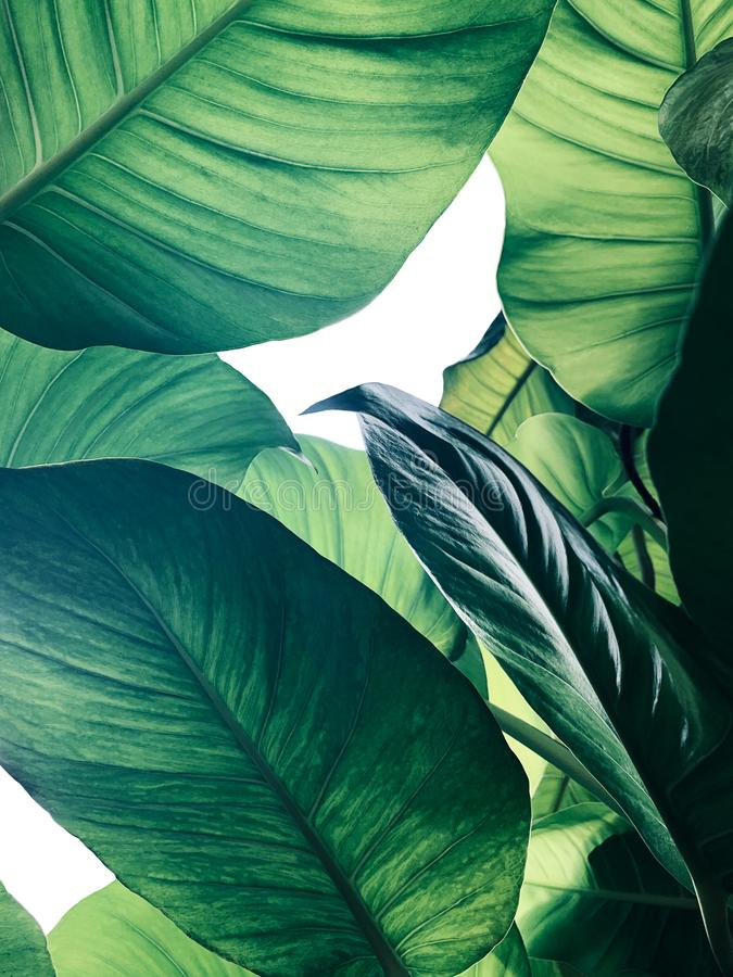 Abstract tropical green leaves pattern on white background, lush foliage of giant golden pothos or Devil's ivy Epipremnum royalty free stock photography
