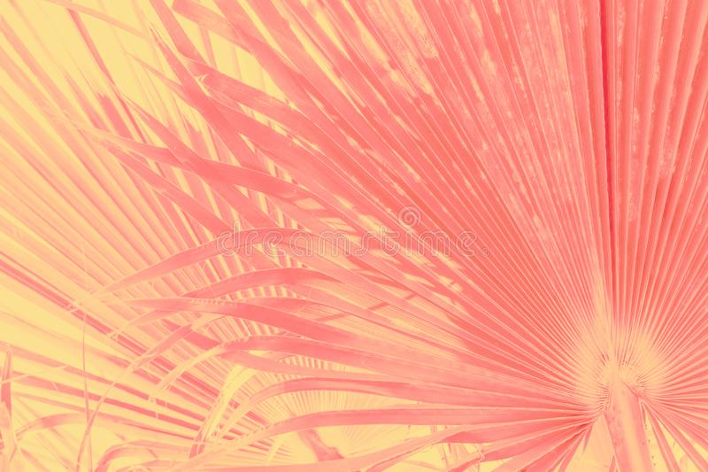 Abstract tropical nature background. Large round palm tree leaves in vintage gradient pink yellow toned faded effect. Warm pastel stock photo