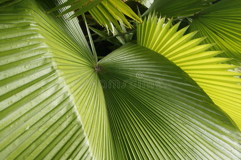 Abstract of tropical palmetto leaves in south Florida. Green with radiating lines and sharp points in the leaves royalty free stock images