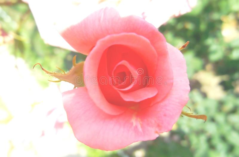 Abstract unfocused lightened background with pink rose. royalty free stock photography