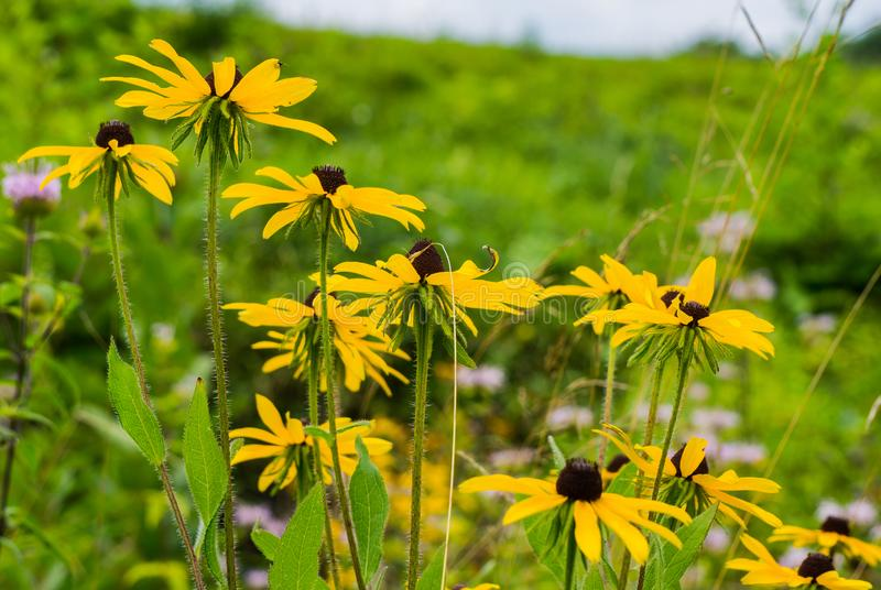 An Abstract View of a Group Black-eyed Susan Wildflowers. A group of Black-eyed Susan wildflowers located in a field of the Blue Ridge Mountains, Virginia, USA stock images