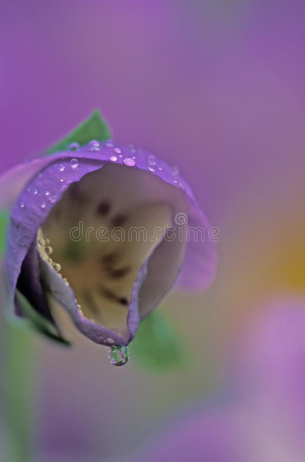 Download Abstract viola stock image. Image of spring, purple, wildflowers - 38857