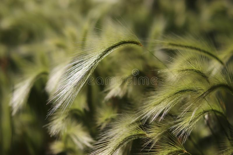 Background of moving grass, abstract. Abstract waves of moving grass in field, showing motion and movement concepts with soft focus for copy space wording royalty free stock image