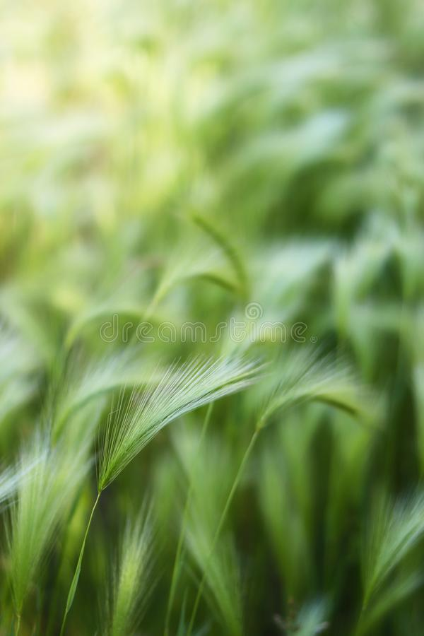 Background of moving grass, abstract. Abstract waves of moving grass in field, showing motion and movement concepts with soft focus for copy space wording stock image