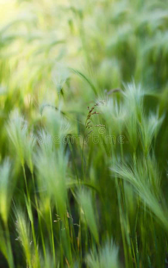 Background of moving grass, abstract. Abstract waves of moving grass in field, showing motion and movement concepts with soft focus for copy space wording stock photo