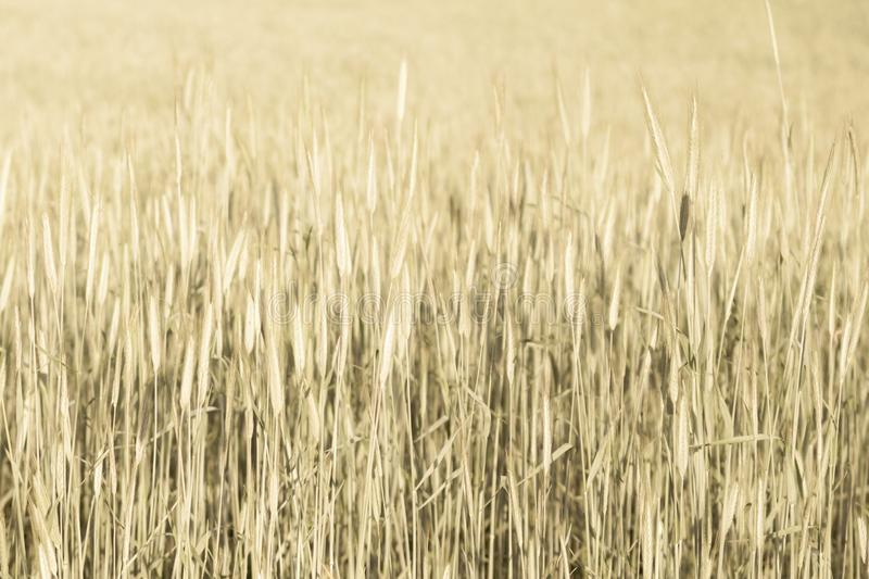 Abstract wheat field texture. meadow nature background stock photos