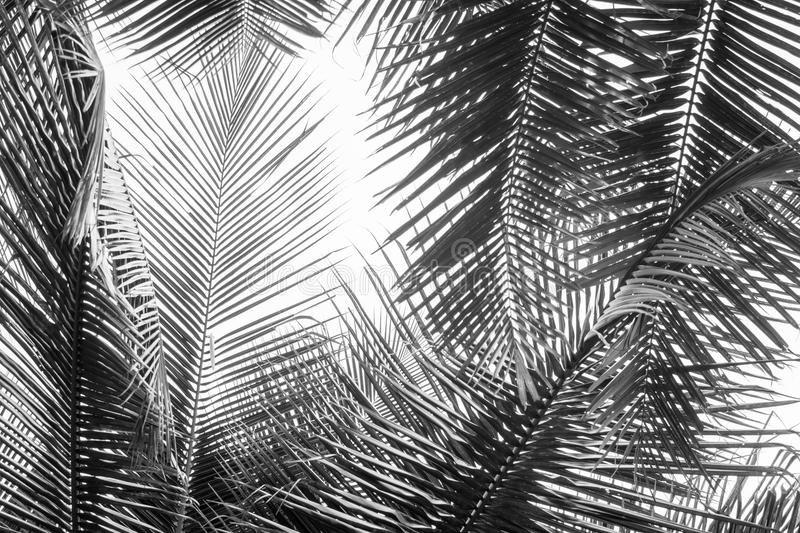 Abstract white and black coconut palms leaf stock photos