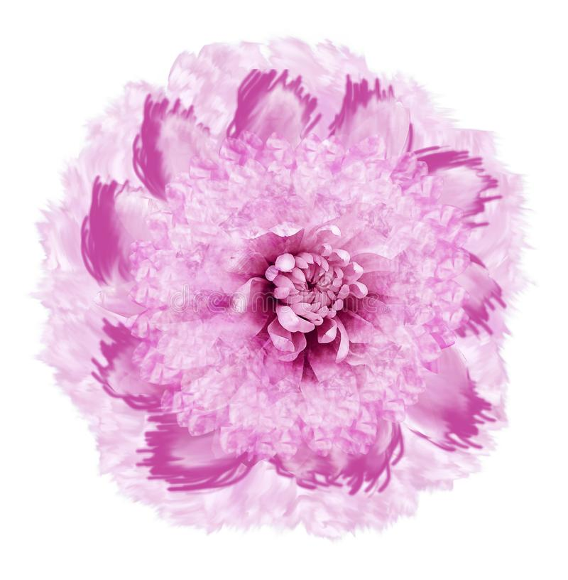 Abstract white-pink flower in watercolor style. Flower isolated on white background with clipping path. Close-up.For design, textu stock illustration