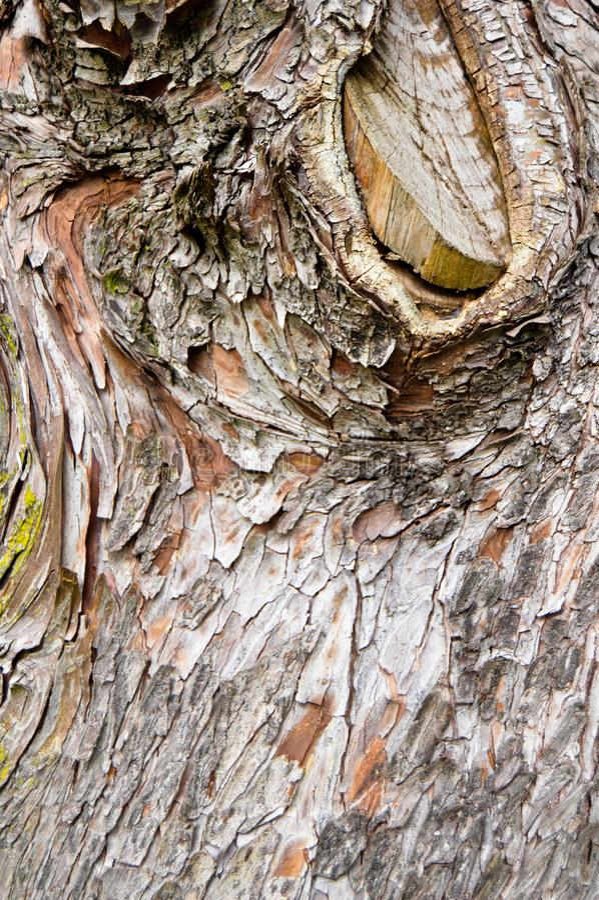 Abstract wood texture bark, cypress tree royalty free stock image