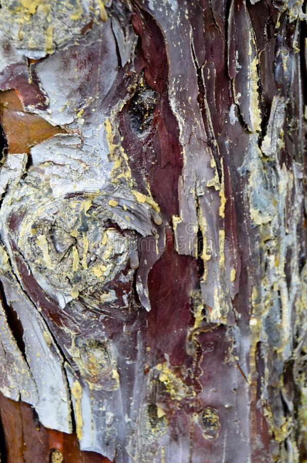 Abstract wood texture bark, cypress tree. Plant, firewood. royalty free stock image