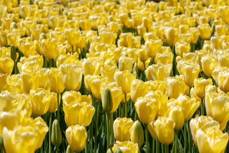 Abstracte achtergrond, oneindig gebied van rode tulpen royalty-vrije stock afbeelding