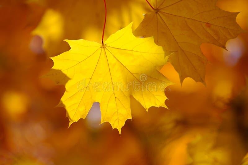 Abstracte de herfstachtergrond, oude oranje esdoornbladeren, stock foto