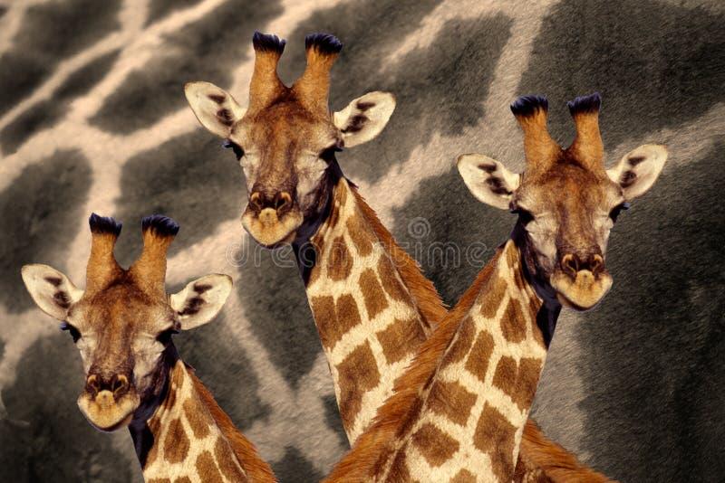 Abstracte foto van drie girafhoofden tegen een patroon van de girafhuid royalty-vrije stock afbeelding