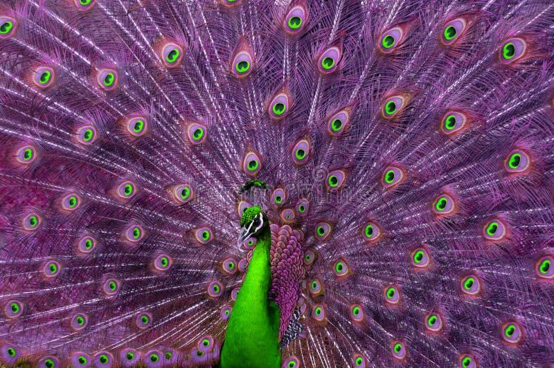 Abstracte groene en purpere pauw stock foto