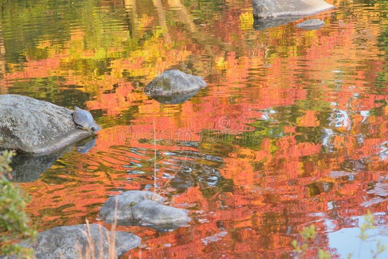 Abstracte kleurrijke bezinning van de trillende Japanse bladeren van de de herfstesdoorn op vijverwateren royalty-vrije stock afbeelding
