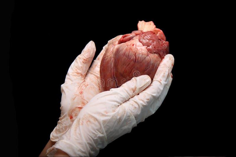 Abstracte orgaanoverplanting Een menselijk hart in vrouwen` s hand Redden van mensenlevens hopeloos zieken Complexe chirurgische  royalty-vrije stock foto
