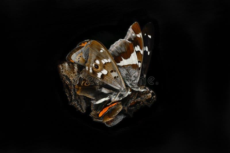 Abstracte samenstelling van droge die vlinders op zwarte achtergrond wordt geïsoleerd stock foto's
