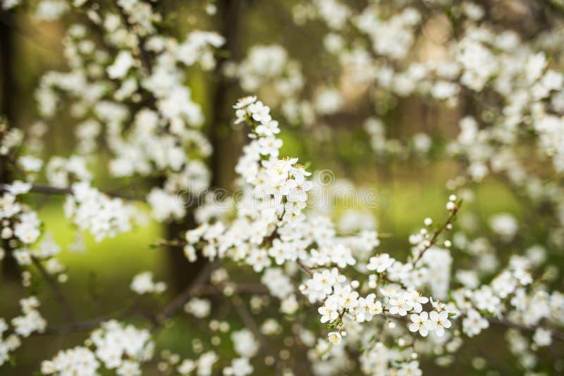 Abstracte seizoengebonden de lente bloemenachtergrond Bloeiende boomtakken met abrikozen witte bloemen stock afbeelding