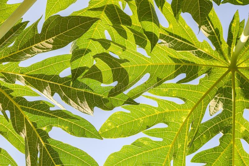 Abstracte textuur van Papajablad op witte hemel, Bladeren royalty-vrije stock fotografie