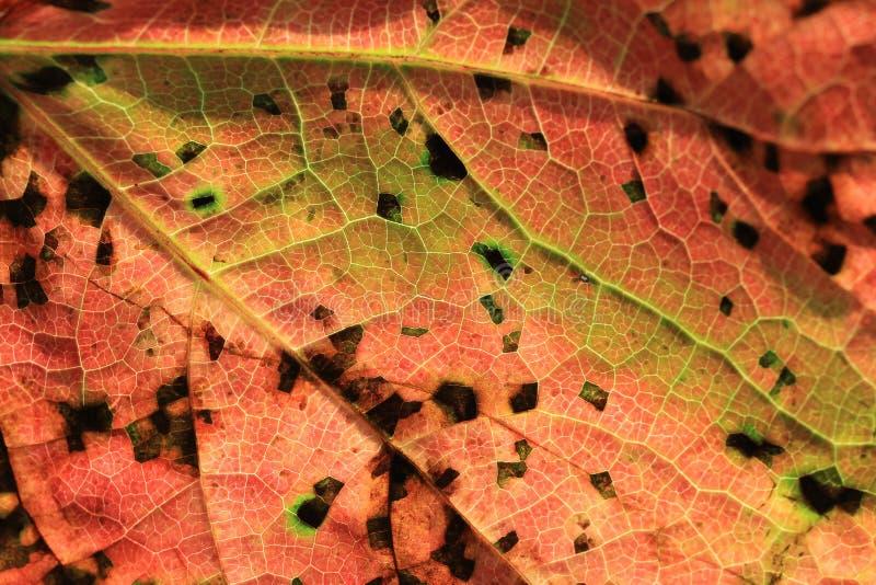 Abstracte textuur van Wild de herfst rood blad stock fotografie