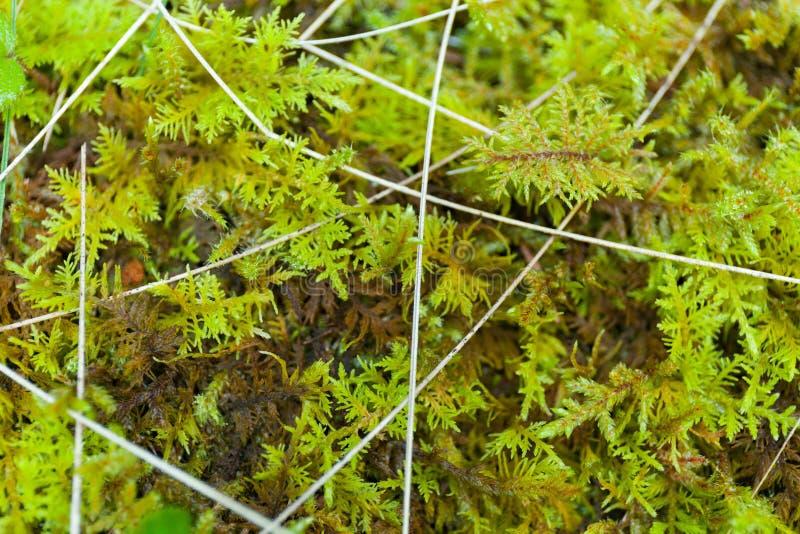 Abstracte wilde bosgrasachtergrond Mooie macrotak stock fotografie