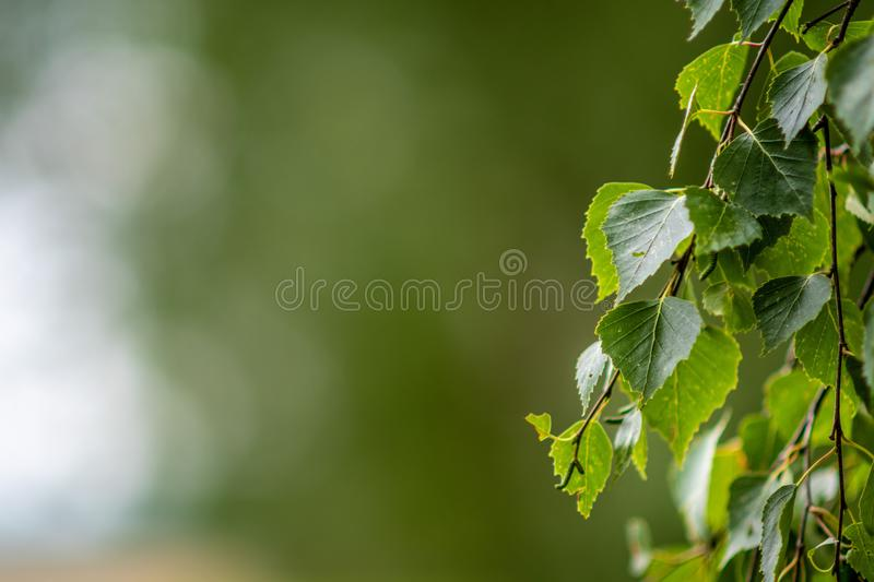 Abstracted background with birch leaf closeup. Abstracted background with birch leaf closeup royalty free stock images