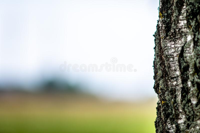 Abstracted background with a close-up of a lone birch tree trunk.  royalty free stock photography