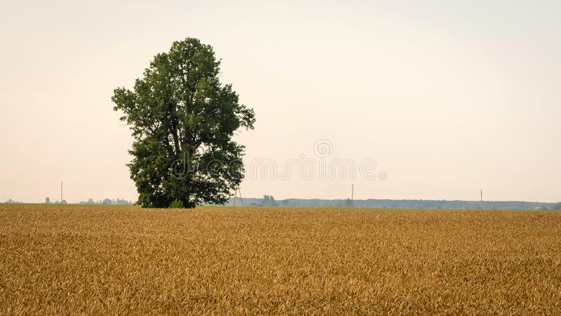 Abstracted background with golden rye fields and lonely trees. Abstracted background with golden rye fields and lonely trees royalty free stock photo