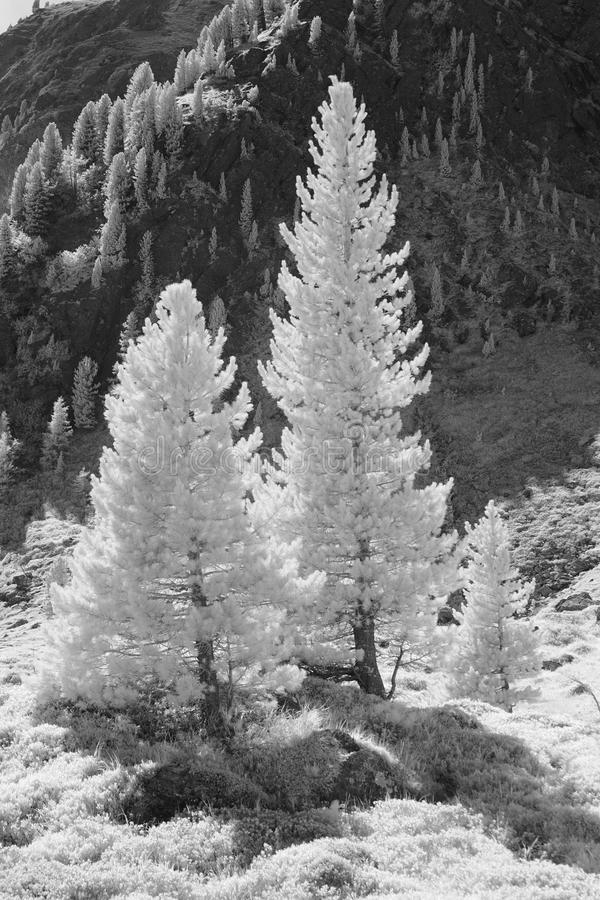 Abstracted Conifers. Conifers on the mountainside taken in infrared blackandwhite, monochrome mode4, which is rendering all green as white or grey royalty free stock images
