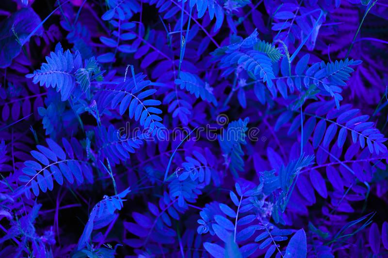 Abstraction of blue neon color. Creative blue neon leaves. Supernatural concept. Ultra violet colors royalty free stock photo
