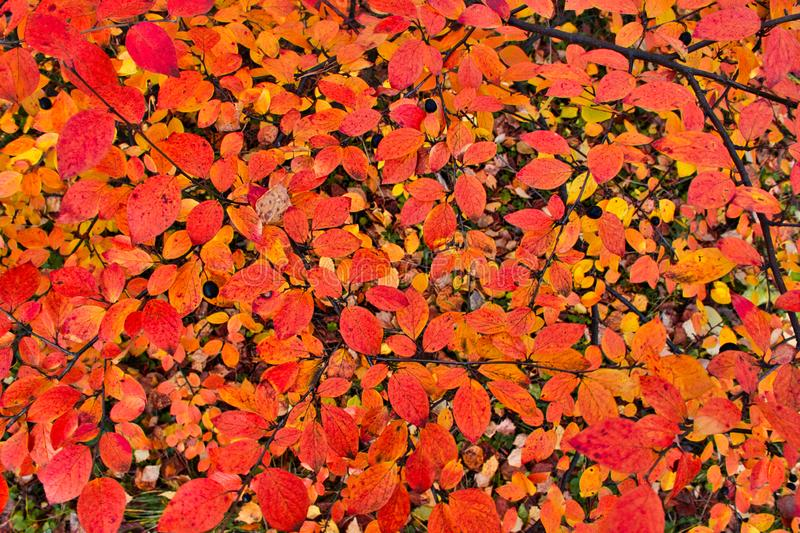 Abstraction, multicolored foliage. Autumn, red and yellow leaves on the trees. Autumn background of red, yellow, orange leaves stock photography