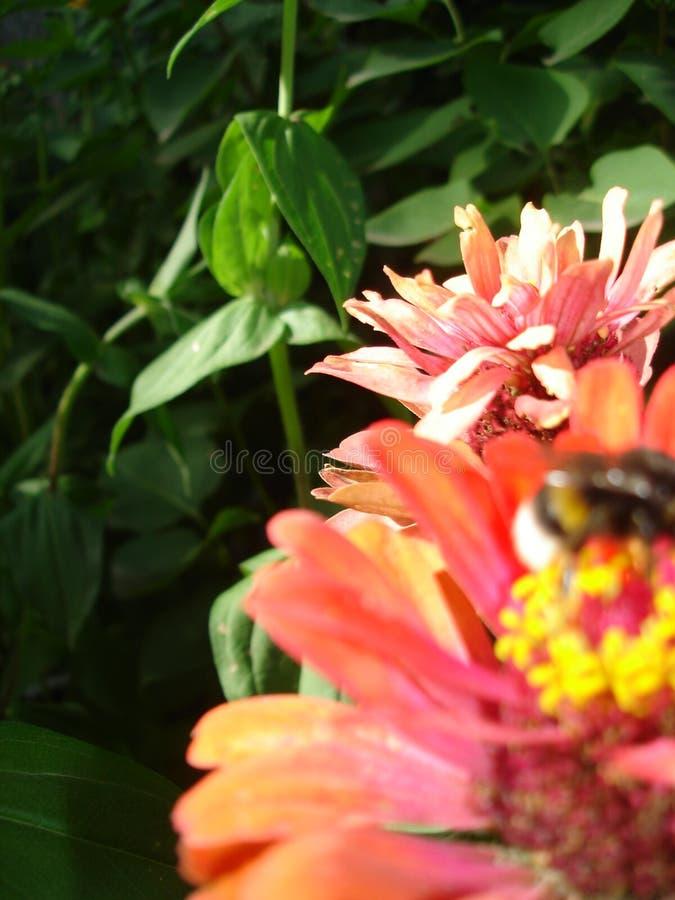 abstraia o fundo Zinnias, abelha e hortaliças imagem de stock royalty free