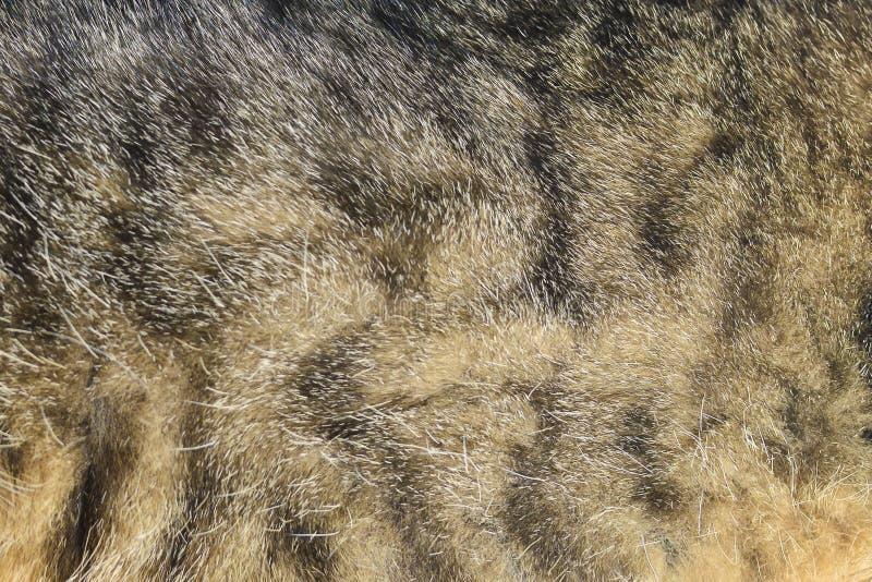 abstraiga el fondo Piel, lana gris, gato nacional rayado imagen de archivo