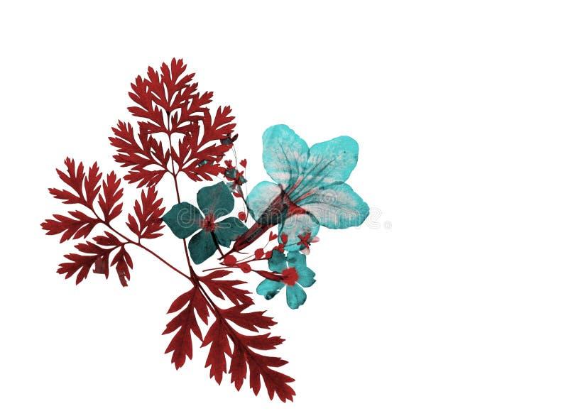Abstrakcjonistyczna czerwień i błękit barwiąca naciskająca sucha kwiat dekoracja odizolowywający na bielu obraz royalty free