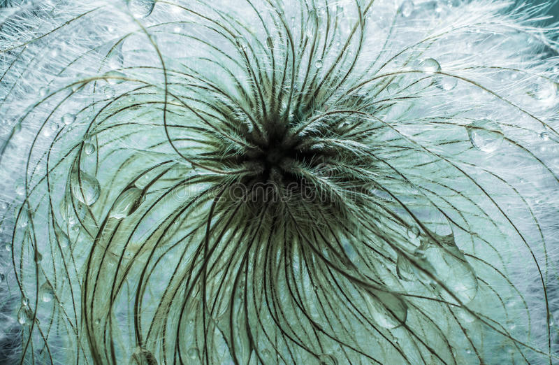 Abstrakcjonistyczna makro- fotografia roślina sia spojrzenia jak dandelion obrazy stock